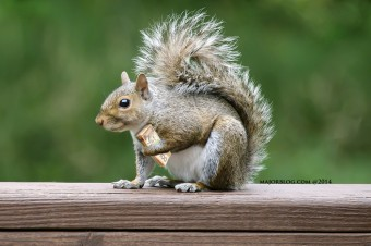 écureuil argent